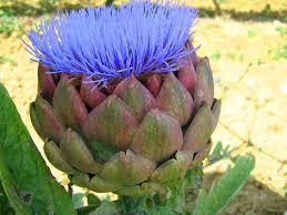 Artichike flower.jpg